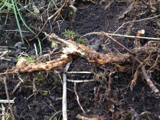 IMG_7506 nettle root