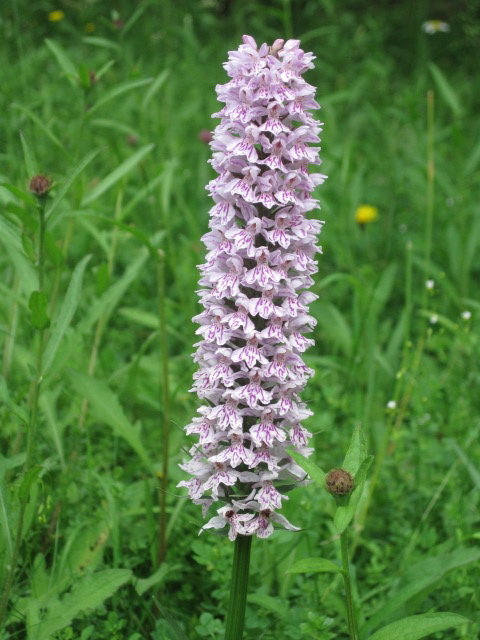 A wild orchid--increasingly rare.